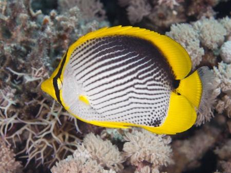 butterflyfish: Blackbacked butterflyfish