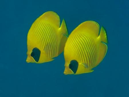 butterflyfish: Bluecheek butterflyfish Stock Photo