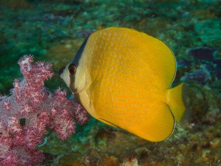 Chaetodon kleinii Stock Photo - 14964990