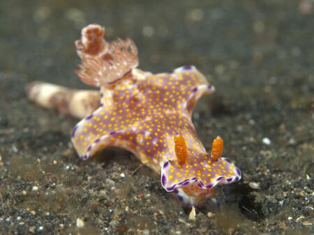 nudibranch Ceratosoma tenue  Stock Photo - 17466541