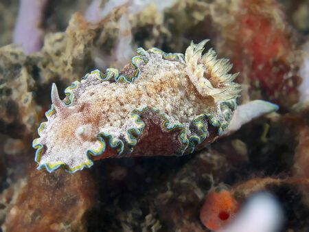 nudi: nudibranch Chromodoris albopunctata