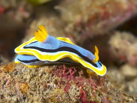 nudibranch Chromodoris annae Stock Photo - 17466549