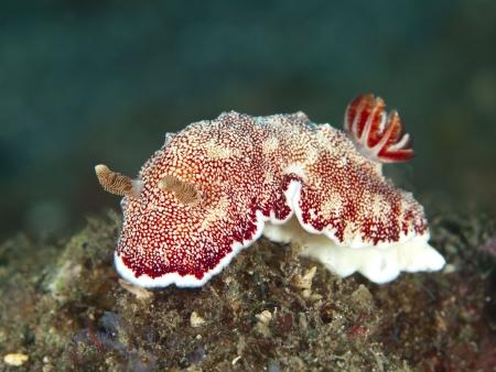 nudibranch: nudibranch Chromodoris reticulata