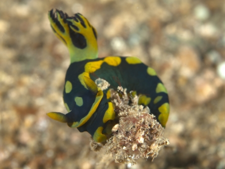 nudibranch Nembrotha kubaryana Stock Photo - 17466535