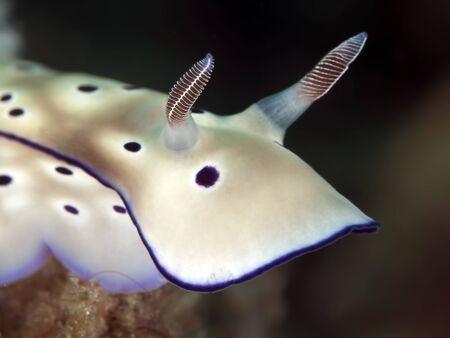 nudibranch: nudibranch Risbecia tryoni       Stock Photo
