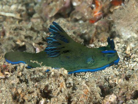 nudibranch: nudibranch tambja kushimotoensis
