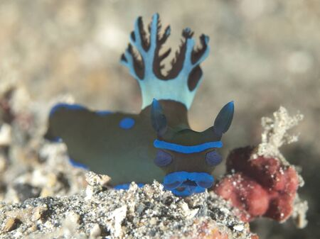 nudibranch Tambja morosa      Stock Photo - 17466530