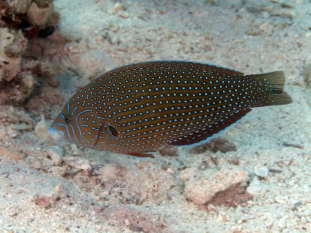labridae: Bluespotted wrasse in red sea Stock Photo