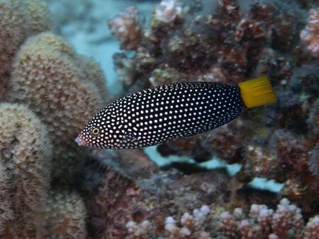 labridae: Spotted wrasse in red sea Stock Photo