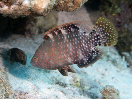 labridae: Abudjubbe wrasse in red sea