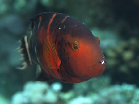 labridae: Redbreasted wrasse in red sea