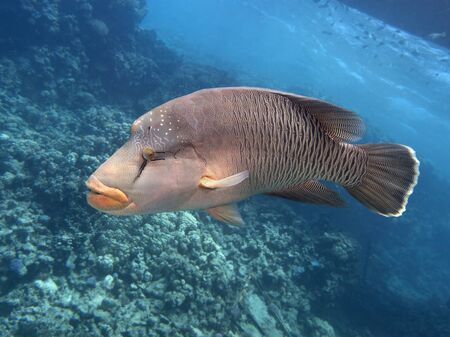 cheilinus undulatus: Napoleon wrasse in red sea Stock Photo
