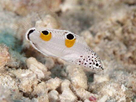 labridae: Clown coris in red sea