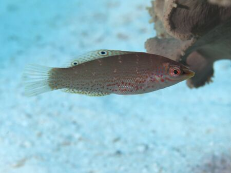 labridae: Dapple coris in red sea