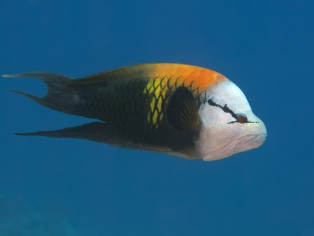 labridae: Singjaw wrasse in red sea