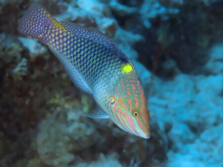 labridae: Chequerboard wrasse in red sea