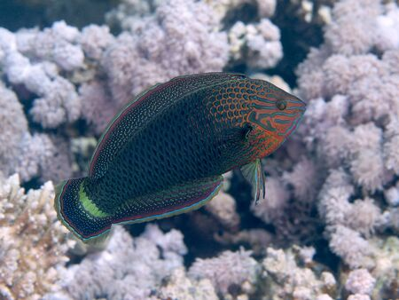 labridae: Dusky wrasse in red  sea