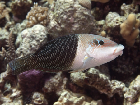 labridae: Half and half wrasse in red sea Stock Photo