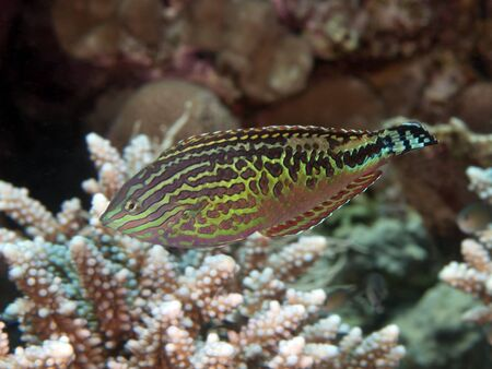 labridae: Vermiculate wrasse in red sea Stock Photo