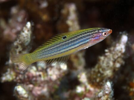 labridae: Minute wrasse in red sea