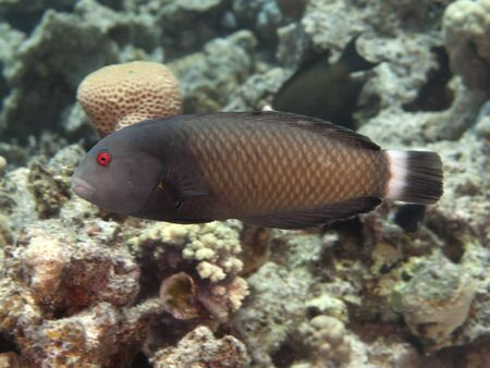 labridae: Rockmover wrasse in red sea Stock Photo