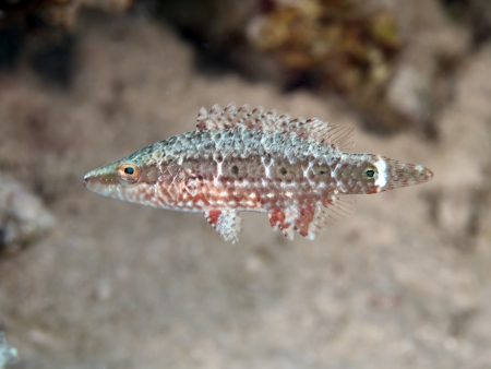 labridae: Mental wrasse in red sea