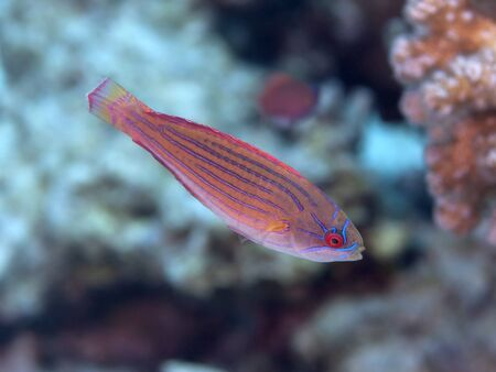 labridae: Fish red sea flasher wrasse