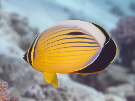 exquisite: Exquisite butterflyfish in Red Sea