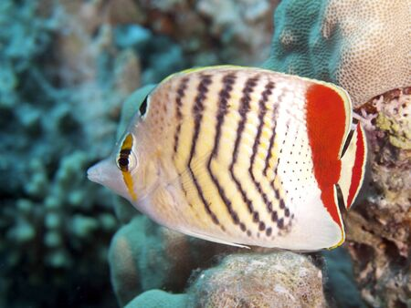 Crown butterflyfish in Red sea