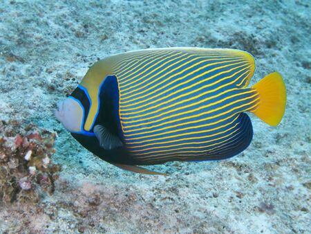 pomacanthus imperator: Emperor angelfish in Red sea