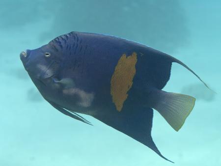 Yellowbar angelfish in red sea photo