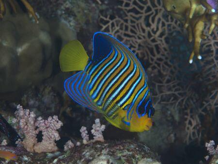 pygoplites diacanthus: Regal angelfish in red sea