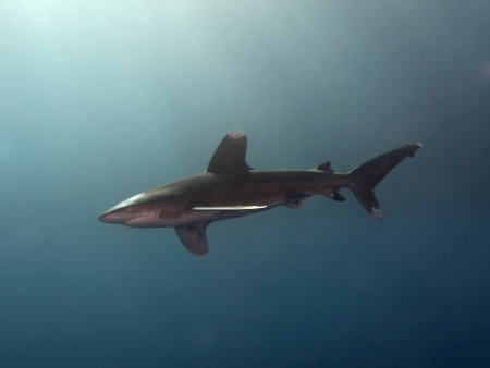 oceanic: Oceanic whitetip shark Stock Photo