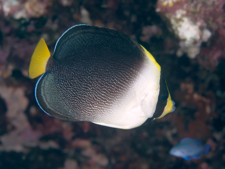 Vermiculated angelfish in Bohol sea, Phlippines Islands