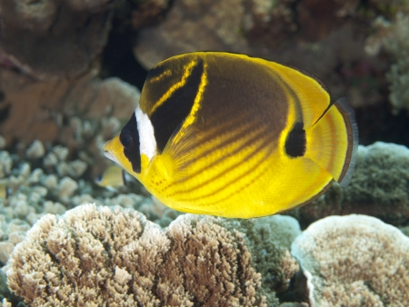 Raccoon butterflyfish in Bohol sea, Phlippines Islands Stock Photo