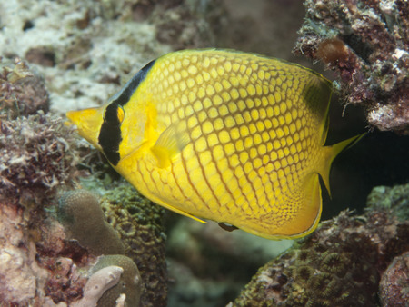 Latticed butterflyfish in Bohol sea, Phlippines Islands Stock Photo