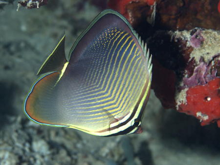 Triangle butterflyfish in Bohol sea, Phlippines Islands