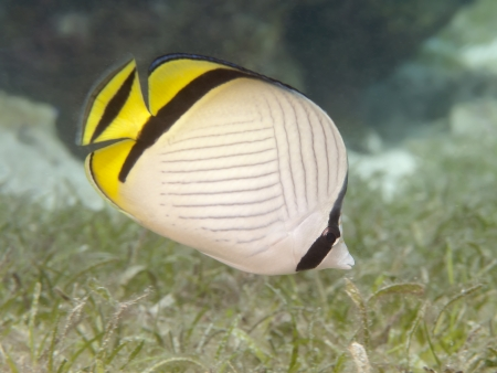 vagabond: Vagabond butterflyfish in Bohol sea, Phlippines Islands