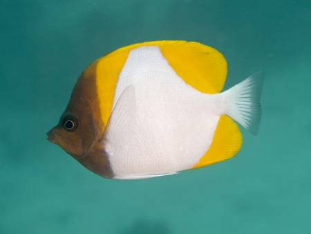 Yellow Pyramid Butterflyfish  LiveAquaria