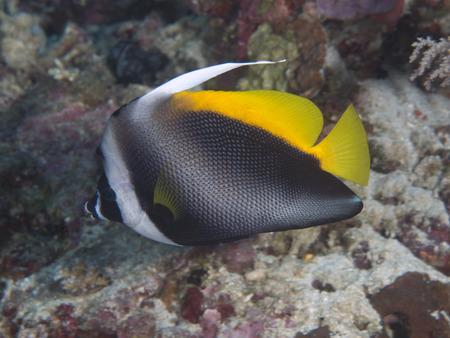 singular: Singular bannerfish in Bohol sea, Phlippines Islands