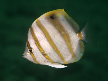 Sixspine butterflyfish  in Bohol sea, Phlippines Islands Stock Photo - 23729756