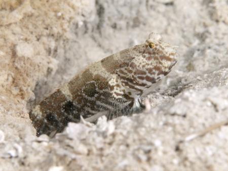 goby: Gamberetti obiettivo Ghiozzo in Bohol mare, isole Phlippines