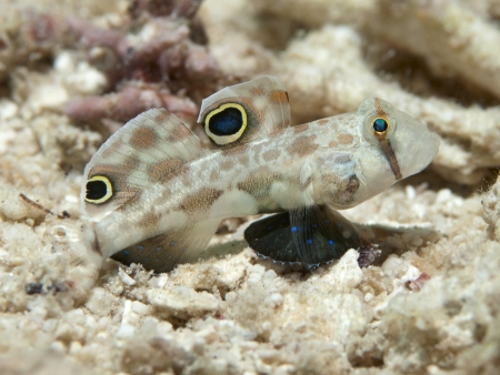goby: Twinspot Ghiozzo in Bohol mare, isole Phlippines