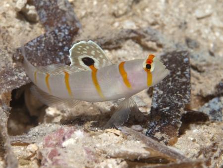 goby: Randalls prawn-goby in Bohol sea, Phlippines Islands Stock Photo