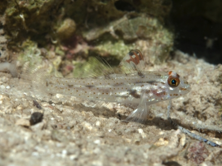bohol: Signalfin goby  in Bohol sea, Phlippines Islands