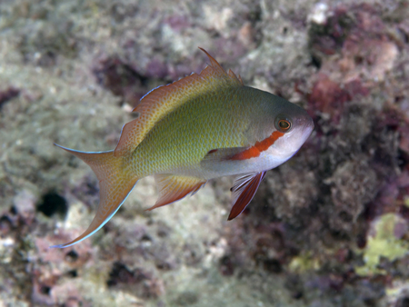 basslet: Red-cheeked fairy basslet in Bohol sea, Phlippines Islands