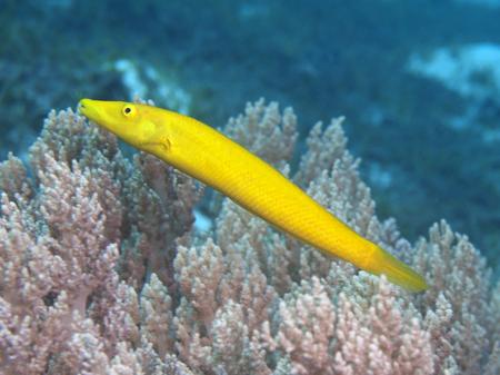 labridae: Cigar Wrasse in Bohol sea, Phlippines Islands