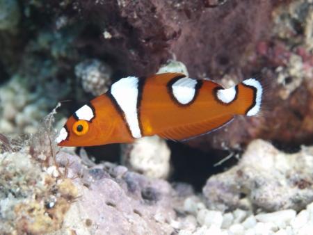 labridae: African coris in Bohol sea, Phlippines Islands Stock Photo