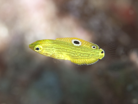 labridae: Canary wrasse in Bohol sea, Phlippines Islands