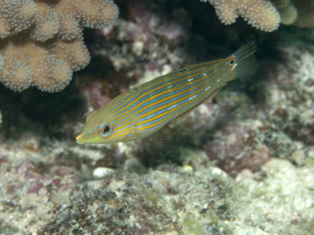labridae: Tail-spot wrasse  in Bohol sea, Phlippines Islands Stock Photo